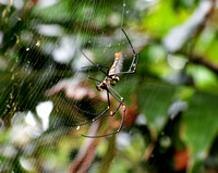Nephila pilipes (Giant Wood Spider)