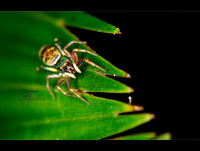 Cute Jumping Spider!