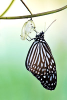 Dark Glassy Tiger hanging on to its pupal shell