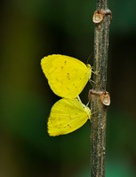 Three Spot Grass Yellow butterflies mating